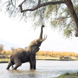 Jonge olifant in de Zambezi rivier, Zimbabwe